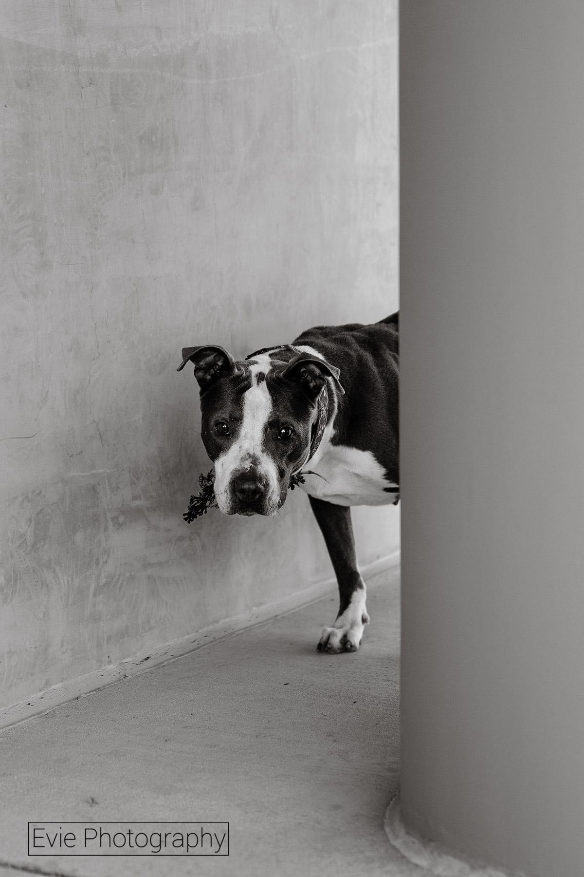 Boulder-Dog-Photos-Evie-Photography-Lola171-bw