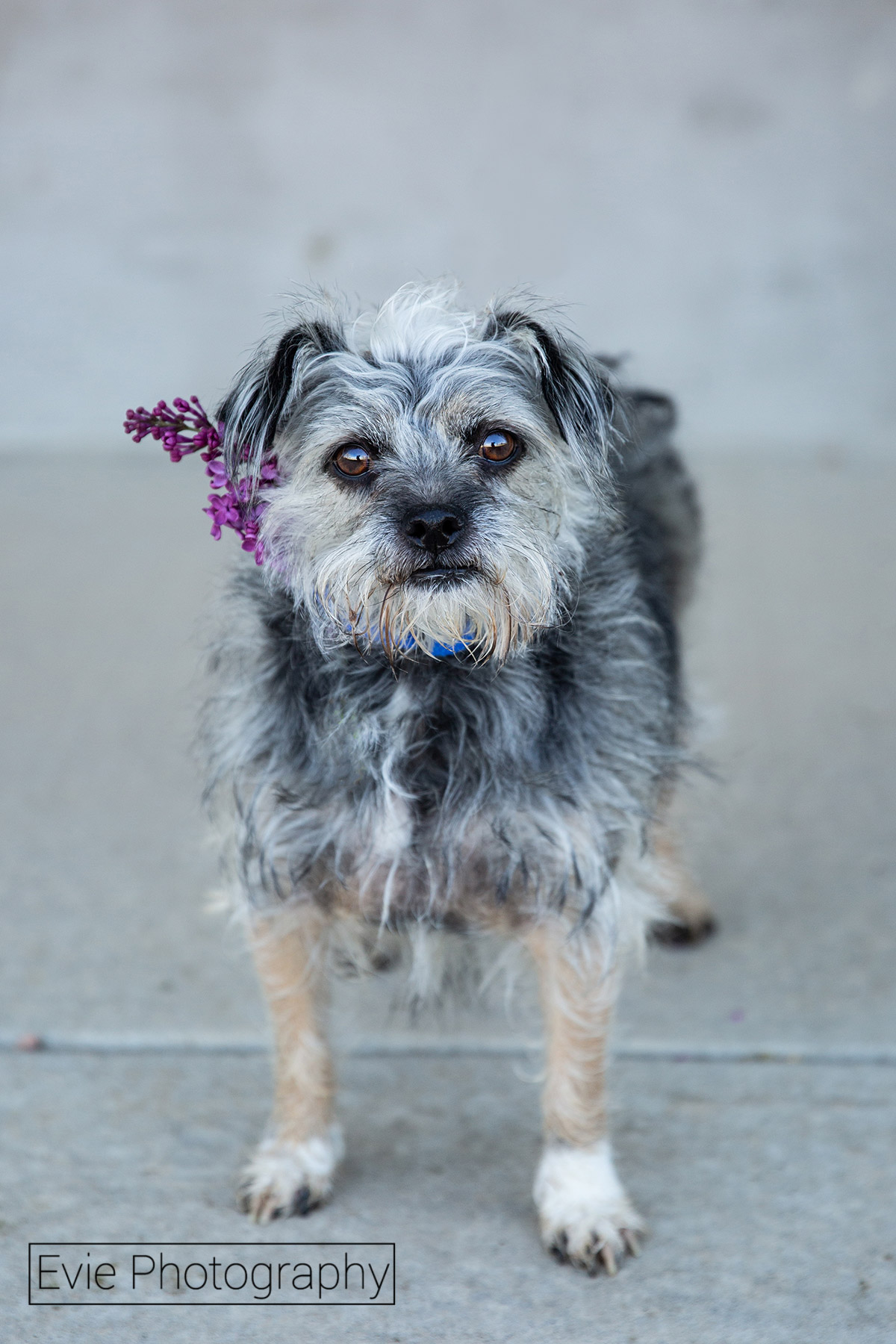 Boulder-Pet-Photography-Evie-Photoraphy-Mrs.-Pibb180